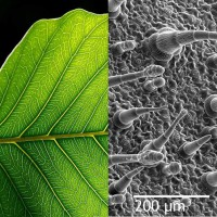 20131204-tree-leave-microscope-photo
