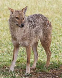 Canis_aureus_-_golden_jackal