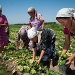 Kyrgyzstan, Jelal-Abad region, farmers are collecting cucumbers